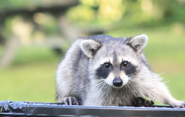 raccoon thief in garbage